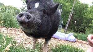 Hoggle the pig!